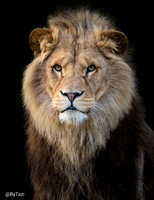 African lion (cropped)