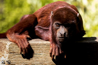 Colombian red howler